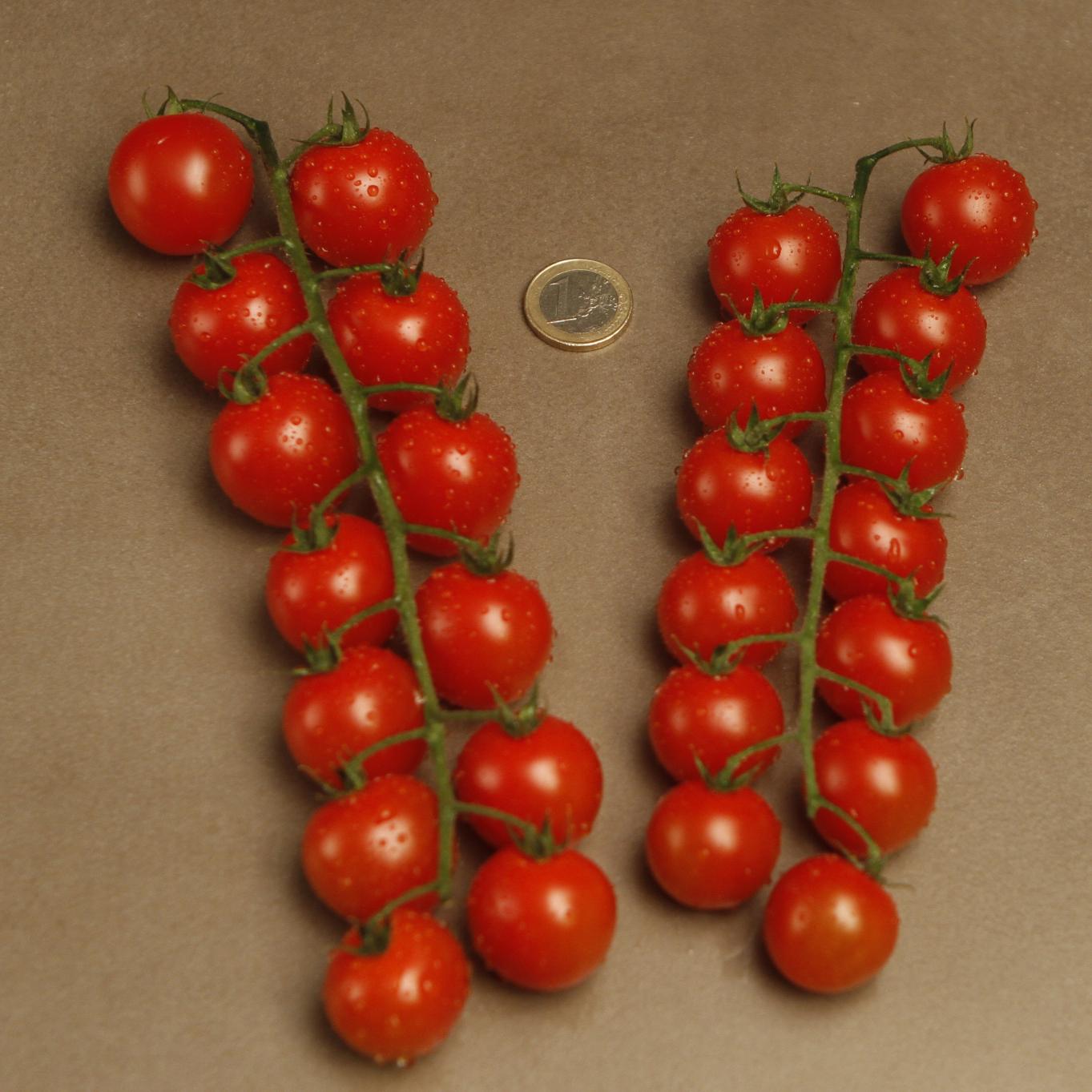 Cherry Rama Rojo